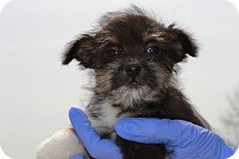 Mt Sterling Ky Shih Tzu Meet Bitsy A Pet For Adoption