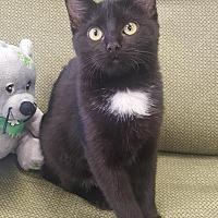 Adopt A Pet :: Bear - Saint Robert, MO