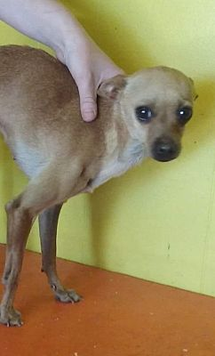 Odessa Tx Chihuahua Meet Skinny Minny A Pet For Adoption