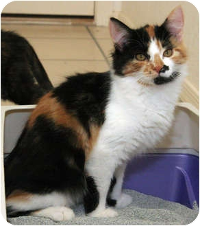 Calico Kitten for adoption in Chandler, Arizona - Calli