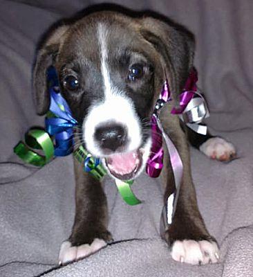 Savannah, GA - Chihuahua  Meet Saddle a Pet for Adoption