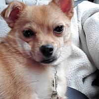 Shih Tzu Puppies For Sale In Sacramento California Adoptapet Com