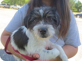 Ocean Springs Ms Shih Tzu Meet Bo A Pet For Adoption
