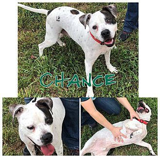 Adopt A Pet :: Chance  - Clarksville, TN
