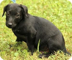 Labrador Retriever/Border Collie Mix Puppy for adoption in Allentown, Pennsylvania - Beckham
