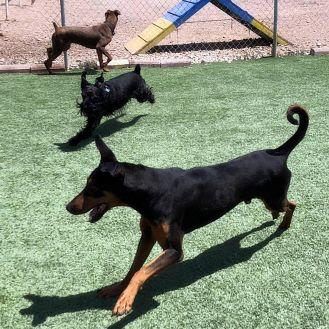 Adopt A Pet :: Tahoe  - Albuquerque, NM