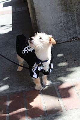 antioch ca dachshund meet louie louie louie a dog for adoption