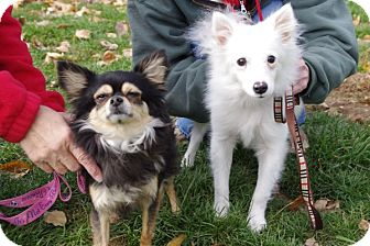 Chihuahua/American Eskimo Dog Mix Dog for adoption in Elyria, Ohio - Taco and Bell