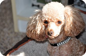 Poodle (Toy or Tea Cup) Dog for adoption in Elk River, Minnesota - RUBY