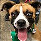 Adopt A Pet :: Diesel *Adopt or Foster*