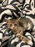 Adopt a Pet :: Tina - Tallahassee, FL -  Domestic Shorthair