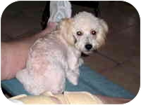 Poodle (Toy or Tea Cup) Dog for adoption in Albuquerque, New Mexico - Shadow