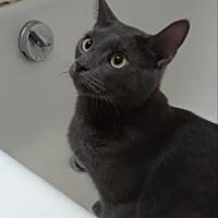 Adopt A Pet :: Wiley Cat - New York, NY