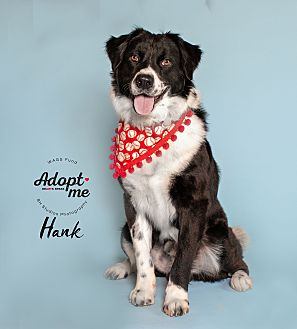 Adopt A Pet :: Hank  - Houston, TX