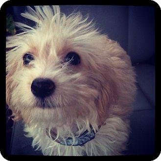 Louisville, KY - Yorkie, Yorkshire Terrier  Meet Ben a Pet