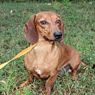 Adopt A Pet :: STRETCH THE WONDER DACHSHUND