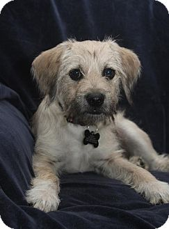 Wichita Ks Schnauzer Miniature Meet Kruzer A Pet For Adoption