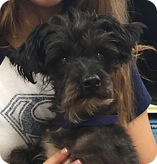 Poodle (Miniature)/Schnauzer (Miniature) Mix Dog for adoption in Orlando, Florida - Aggie