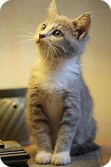 Domestic Shorthair Kitten for adoption in St. Louis, Missouri - Piper