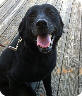 Labrador Retriever Dog for adoption in Nashville, Tennessee - Charlie