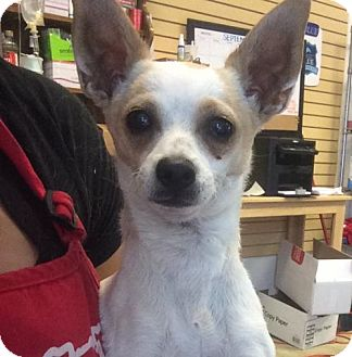 Chihuahua Mix Dog for adoption in Chico, California - Snow White