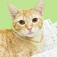 Adopt A Pet :: Marmalade - Oviedo, FL