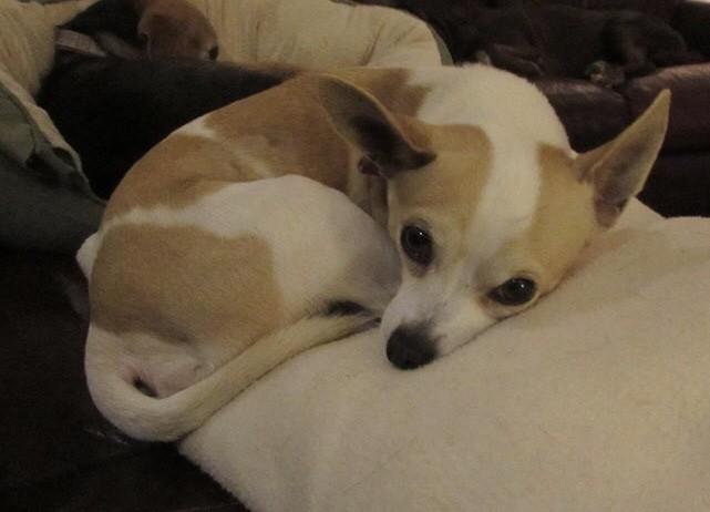 Spartanburg, SC - Chihuahua  Meet Midge - Adopted a Pet for Adoption