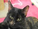 Adopt a Pet :: ZARINA - Olathe, KS -  Domestic Shorthair
