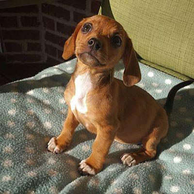 Ft  Thomas, KY - Dachshund  Meet Hazel a Pet for Adoption