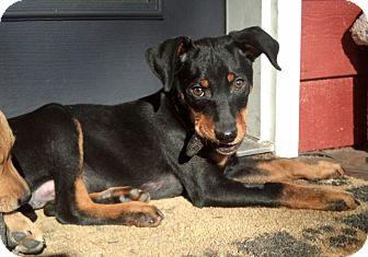 Cincinnati Oh Manchester Terrier Meet Axel A Pet For Adoption