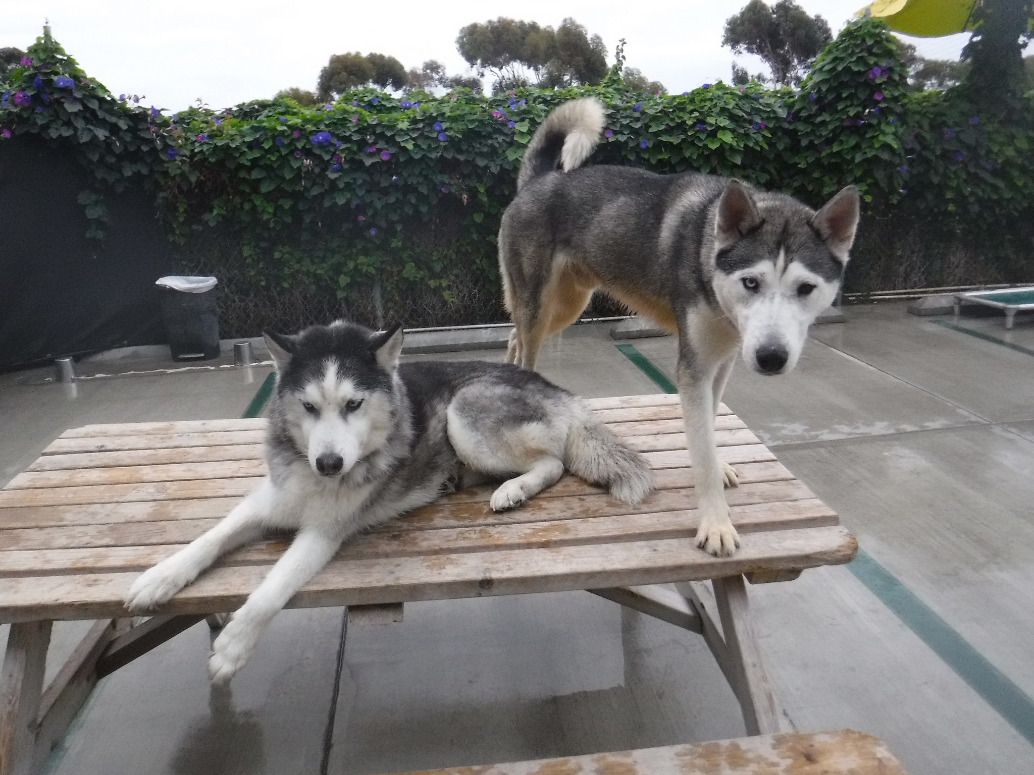 Husky puppies for sale yucca valley - Husky Puppies For Sale Yucca Valley 10