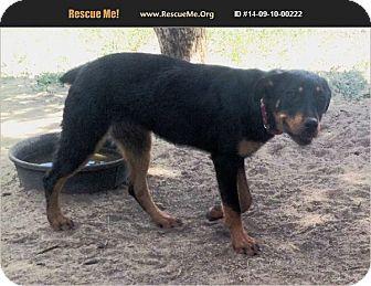 Cuba Nm Rottweiler Meet Rikki A Pet For Adoption