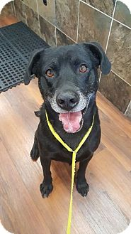 Labrador Retriever Mix Dog for adoption in Florence, Kentucky - Guinness