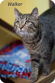 Domestic Shorthair Cat for adoption in West Des Moines, Iowa - Walker