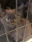 Adopt a Pet :: Suki - Anderson, IN -  Domestic Shorthair/Domestic Shorthair Mix