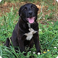 Adopt A Pet :: Dexter-Fee Reduced to $250 - Hagerstown, MD