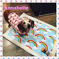 Adopt A Pet :: Annabelle - Green Cove Springs, FL