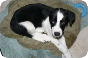 Marlton Nj Border Collie Meet Border Collie Husky Mix Pups A Pet