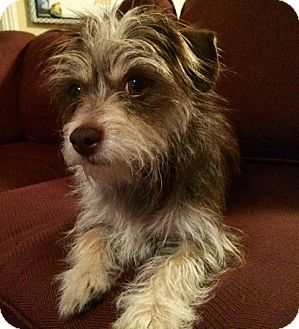 Jack Rus Terrier Meet Latte A Pet