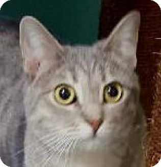 Polydactyl/Hemingway Cat for adoption in Winchester, California - Baby Spice