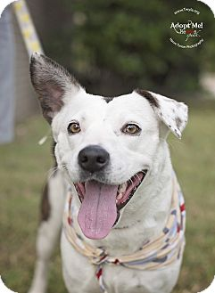 Catahoula Leopard Dog/Labrador Retriever Mix Dog for adoption in Kingwood, Texas - Romi