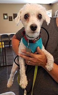 Shih Tzu/Poodle (Standard) Mix Dog for adoption in Freeport, New York - Milo