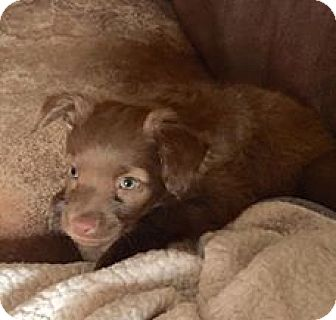 Spaniel (Unknown Type) Mix Puppy for adoption in Las Vegas, Nevada - Candy's Elisa