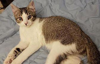 Adopt A Pet :: KB-Button  - Devon, PA