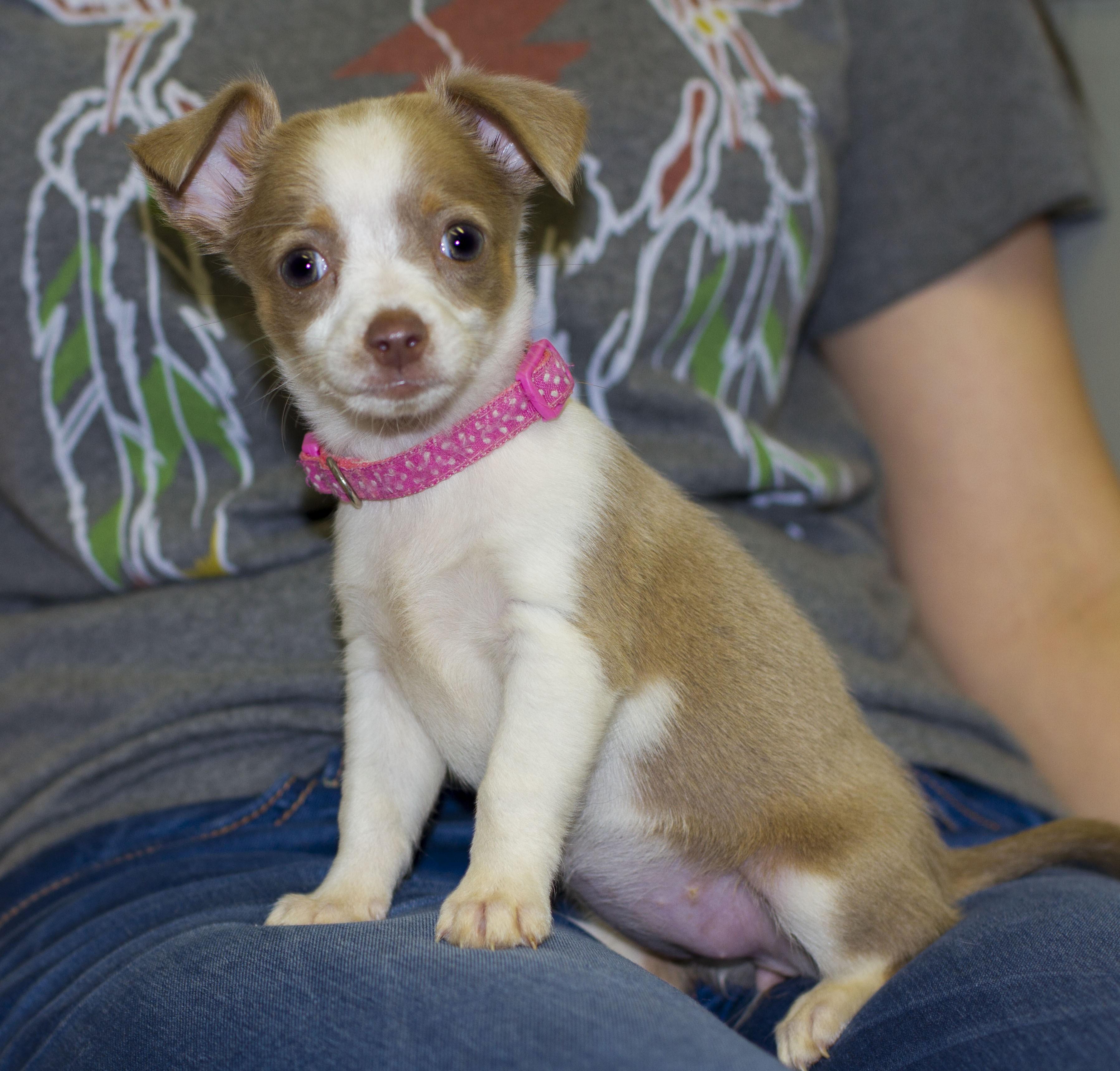 Baton Rouge, LA - Chihuahua. Meet Petunia a Dog for Adoption.