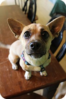 Chihuahua/Corgi Mix Puppy for adoption in Wytheville, Virginia - Harley