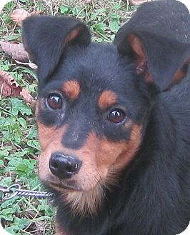 Hillsboro Oh Miniature Pinscher Meet Louise A Pet For Adoption