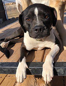 Adopt A Pet :: Bella  - Oklahoma City, OK