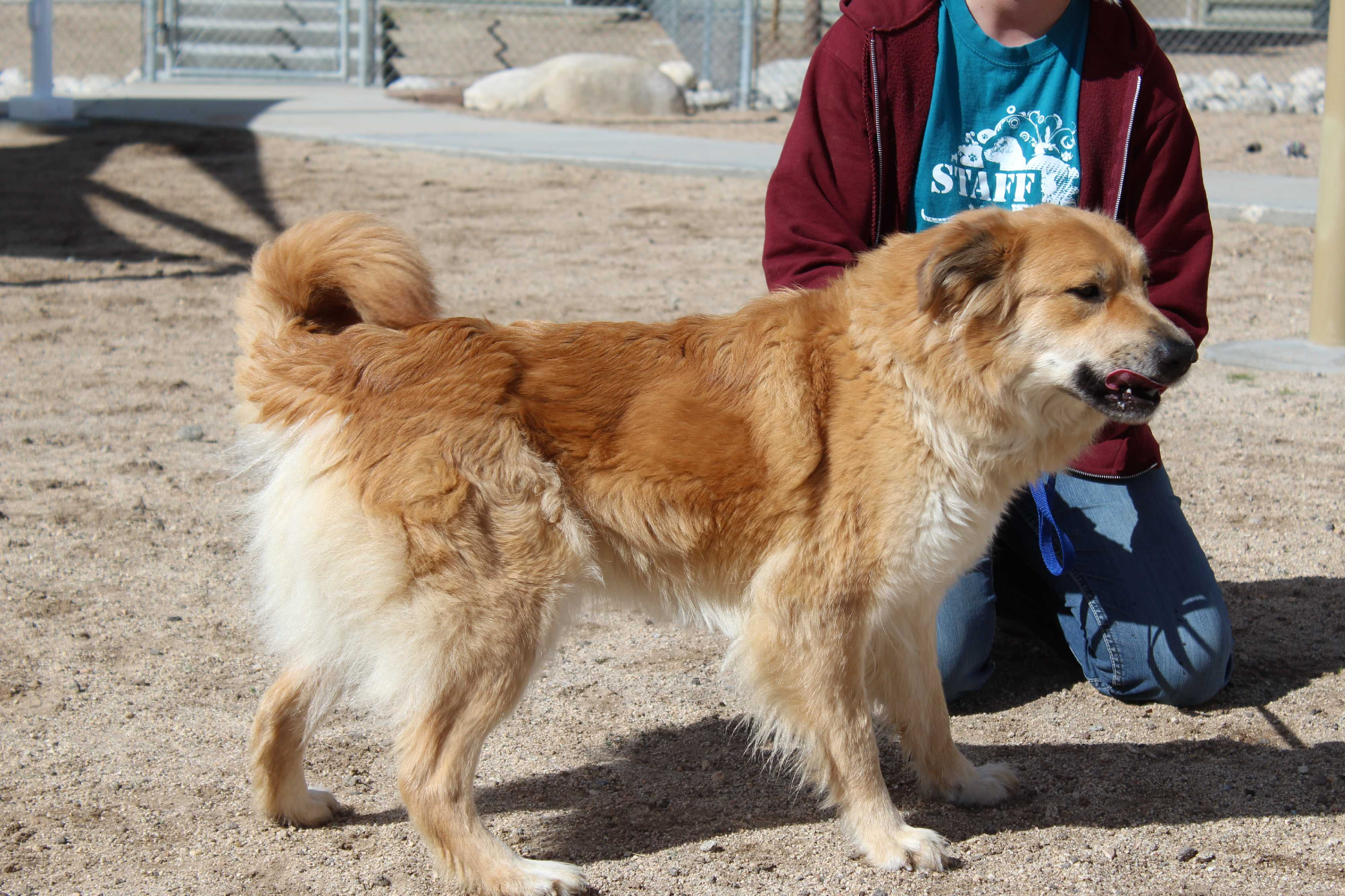 Husky puppies for sale yucca valley - Yucca Valley Ca Retriever Unknown Type Meet Anastasia Duchess Bell A Dog For Adoption