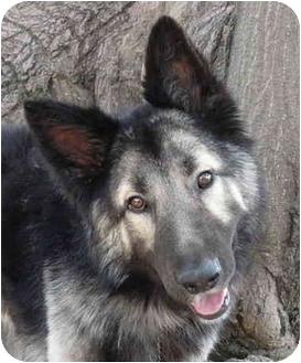 Los Angeles, CA - German Shepherd Dog. Meet Loki von ...